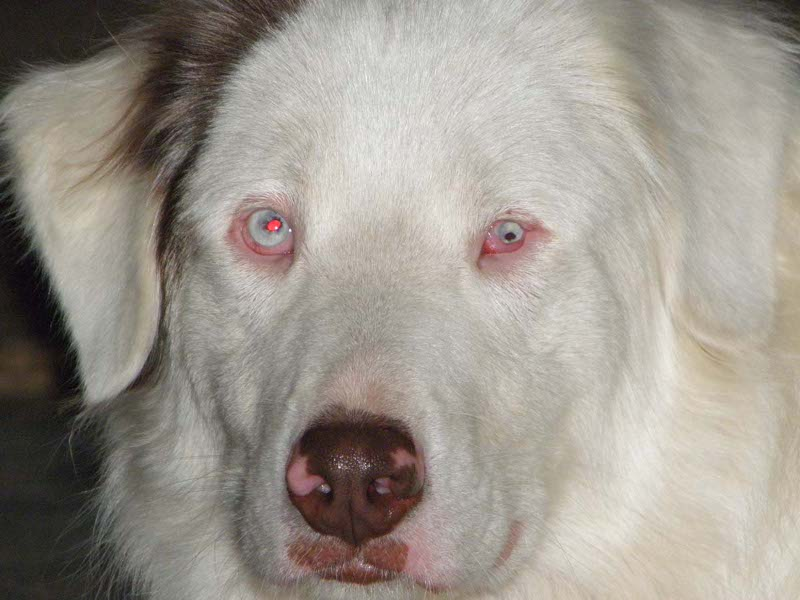 My lethal white Aussie rescue