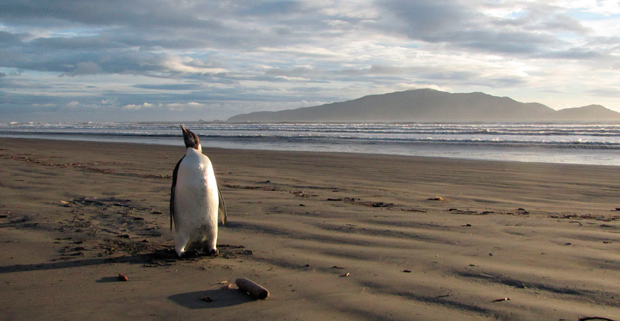 Emperor penguin on beach in New Zealand