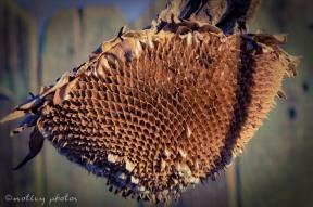 Dried sunflower