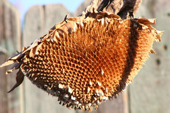 jpeg untouched Dried sunflower