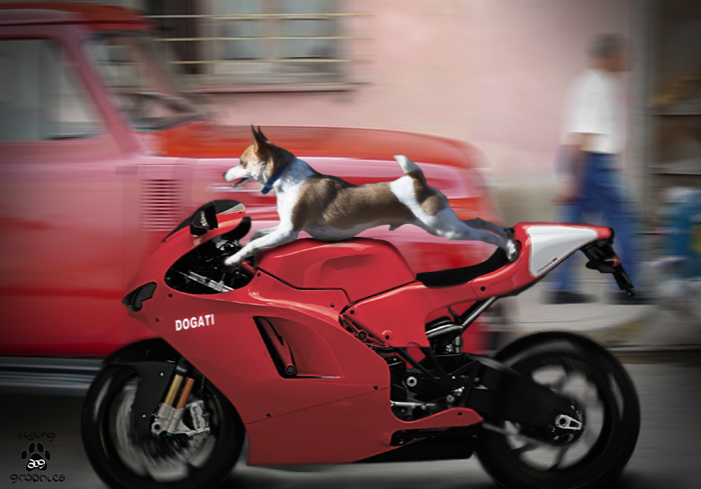 Jack Russell driving a Dogati motorcycle