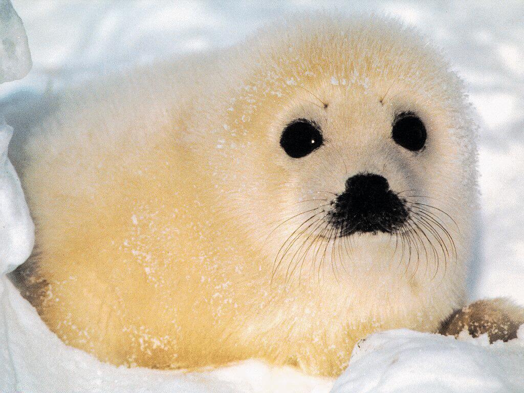 Scientists test sick Alaska seals for radiation | Motley News