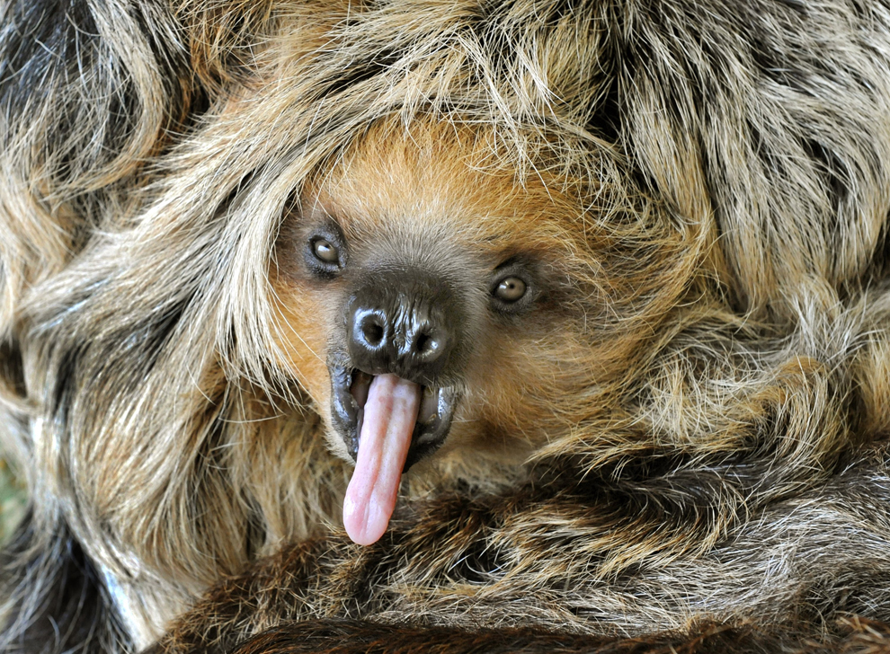 Baby sloth sticking out it's tongue