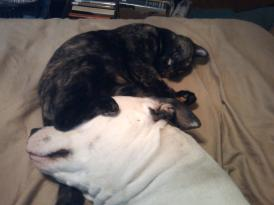 BadRap McDonald's protest photo of cat laying with pit bull