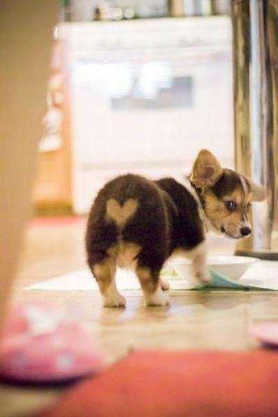 Corgi puppy with a heart-shaped pattern on it's butt