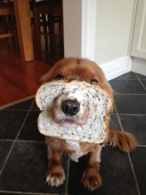 Facebook craze bread on dogs head 03