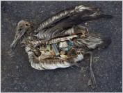 Plastic and garbage inside a sea bird carcass. Photo credit: unknown