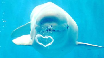 heart shaped bubble from beluga whale