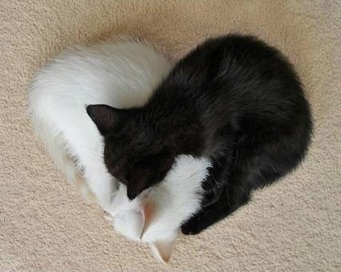 heart shaped cats laying together yin yang