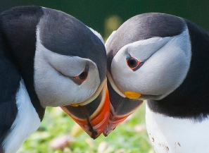 heart shaped puffins