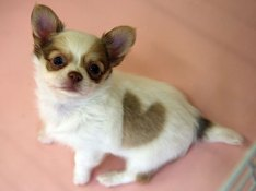 heart shaped spot on dog