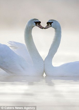 heart shaped swans