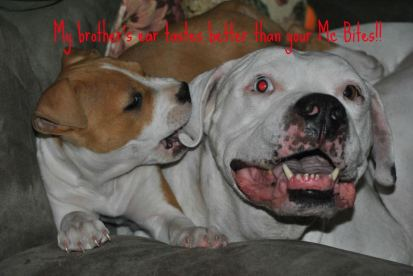 Letter sent to BADRAP in protest to McDonald's commercial mentioning stray pit bulls 17