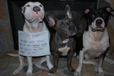 Letter sent to BADRAP in protest to McDonald's commercial mentioning stray pit bulls 31