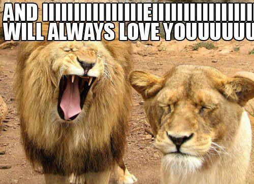 Meme funny photo with caption lion and lioness