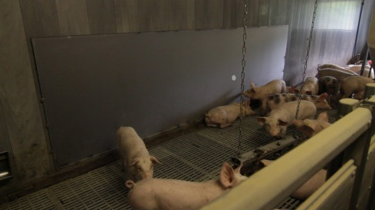 Pigs play with the help of a large touch sensitive display. On it, a human-controlled ball of light moves around.