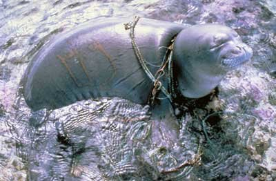 Seal tangled in rope and chain debris. Photo credit: unknown