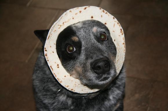 tortilla on dogs head