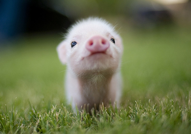 Pink piglets - photo#9