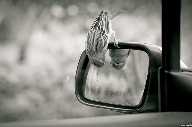bird looking in rear view mirror