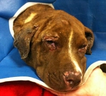 Justice: The Lab Mix Pup Burned with Lighter Fluid