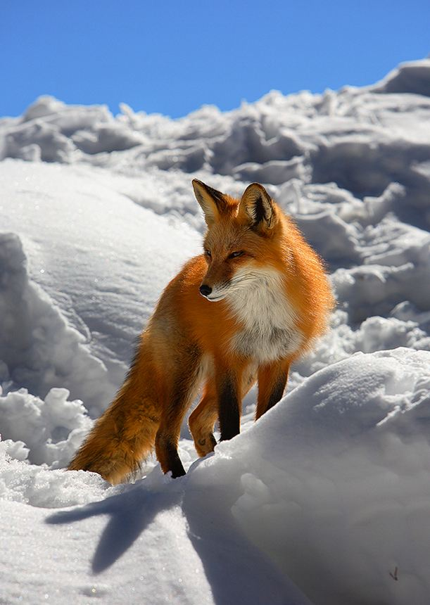 red fox in snow - photo #2