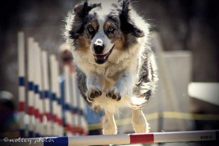 Agility Community Center_20120311_087_Australian Shepherd over jump