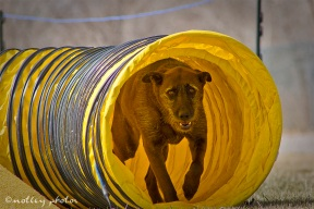 Agility Community Center_20120311_All American Dog_tunnel 01