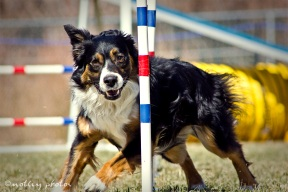 Agility Community Center_20120311_Aussie_weave poles 02