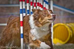 Agility Community Center_20120311_Aussie_weave poles 03
