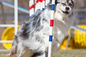 Agility Community Center_20120311_Aussie_weave poles 04