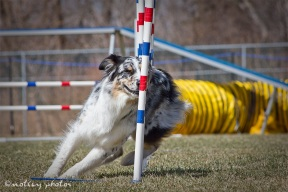 Agility Community Center_20120311_Aussie_weave poles 05