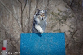 Agility Community Center_20120311_Australian Shepherd A-frame 02