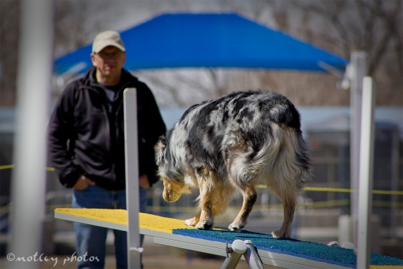 Agility Community Center_20120311_Australian Shepherd teeter 01