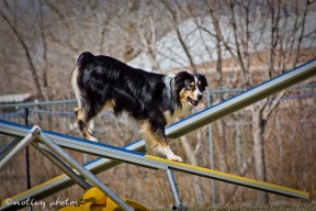 Agility Community Center_20120311_Australian Shepherd teeter 02