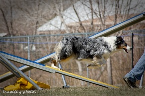 Agility Community Center_20120311_Australian Shepherd teeter 03