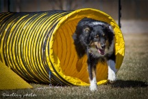 Agility Community Center_20120311_Australian Shepherd_tunnel 02