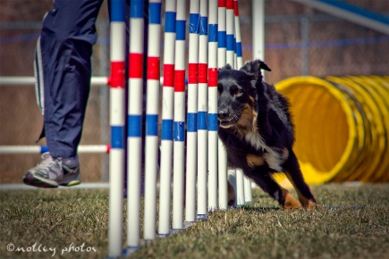 Agility Community Center_20120311_Black and tan dog weave poles 01