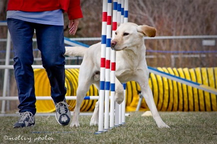 Agility Community Center_20120311_Blond Labrador_weave poles 01