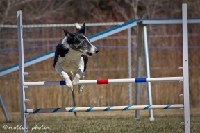 Agility Community Center_20120311_Border Collie_Jump 01