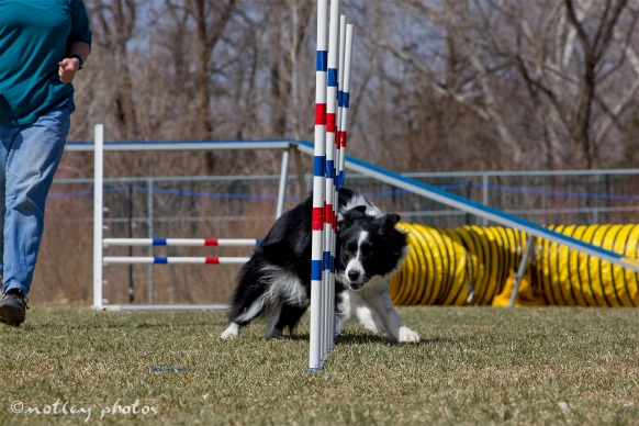 Agility Community Center_20120311_Border Collie_weave poles 01