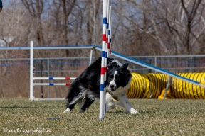Agility Community Center_20120311_Border Collie_weave poles 02