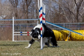 Agility Community Center_20120311_Border Collie_weave poles 03