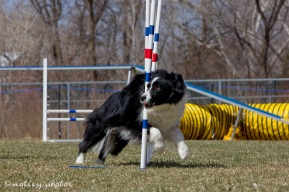 Agility Community Center_20120311_Border Collie_weave poles 04