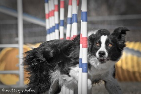 Agility Community Center_20120311_Border Collie_weave poles 05