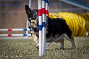 Agility Community Center_20120311_Corgi_weave poles 01