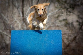 Agility Community Center_20120311_Kaia_Goldren retreiver_A-frame 01