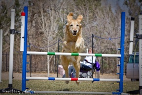 Agility Community Center_20120311_Kaia_Goldren retreiver_jump 01