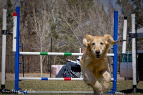 Agility Community Center_20120311_Kaia_Goldren retreiver_jump 02