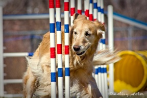 Agility Community Center_20120311_Kaia_Goldren retreiver_weave poles_front view 01